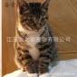 出售活体小猫家猫 土猫 幼猫 立耳家养猫 中华田园猫 狸花猫黑猫