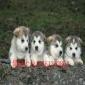 懂娇犬业宠物狗狗出售 阿拉斯加幼犬 包纯种健康
