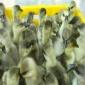 厂家直销河池鹅苗价格报价/浙东白鹅价格行情今日技术支持