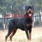 德系罗威纳犬活体罗威那犬幼犬纯种宠物狗狗大型护卫犬德国罗威纳