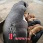 猪场批发纯种母猪皮梅母猪 皮梅二元母猪高产仔育成率强 包邮