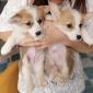 河北直销柯基活体幼犬 双色三色短腿柯基价格 宠物柯基犬价格