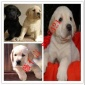 拉布拉多幼犬活体神犬小七拉布拉多活体宠物狗狗导盲犬拉布拉多犬